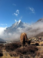THIS is a yak.